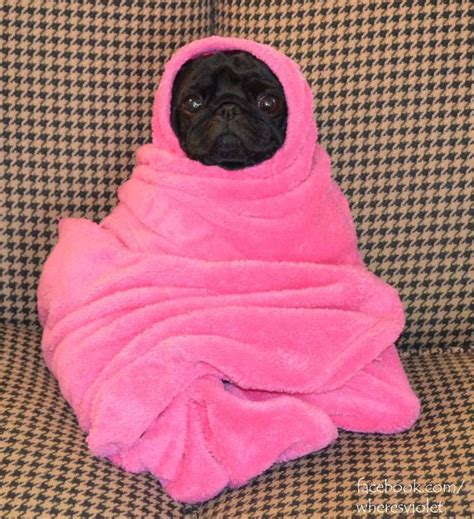 pug in blanket pug in a blanket or et animals