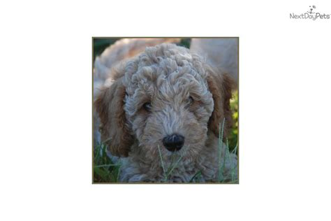 mini labradoodles kansas city labradoodle for sale for 1 650 near kansas city