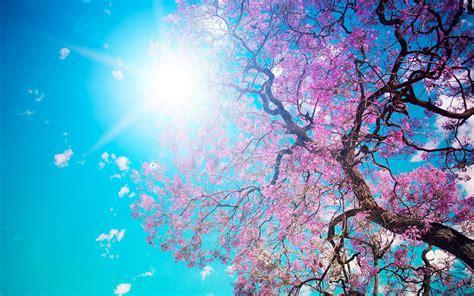 cherry tree background cherry blossom tree wallpaper 2560x1600 80335 wallpaperup
