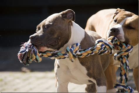 indestructible toys for pit bulls indestructible toys for pit bulls wow