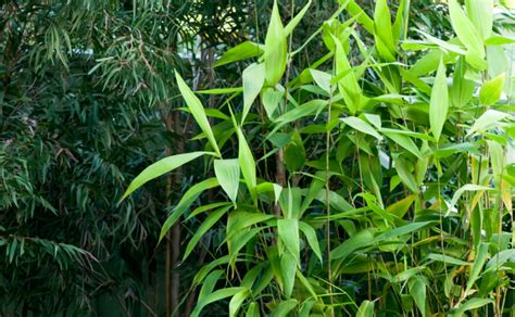 tiger grass 20 seeds thysanolaena maxima looks like bamboo ebay