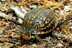 box turtle the life of animals