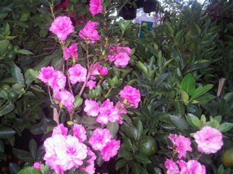 Tanaman Bunga Azalea Pink Tumpuk gambar tanaman azalea pink tumpuk bibitbunga gambar bunga di rebanas rebanas
