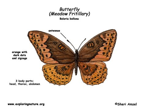 diagram of a butterfly butterfly anatomy for