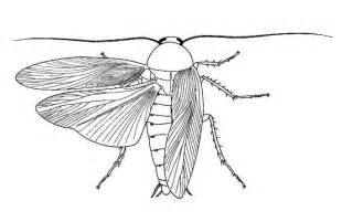drawing of a cockroach biological drawings insects cockroach periplaneta