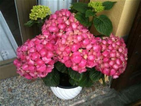 ortensia in vaso cura giugno cura giardino concimazioni e pacciamature