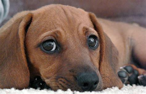 beagle weiner mix the daily puppy photo