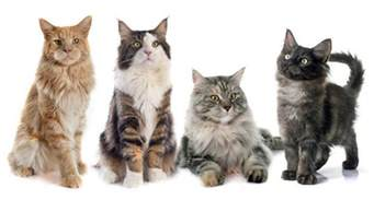 maine coon colors list of 15 different colors of a maine coon cat maine