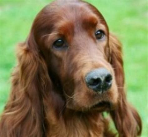 irish setter dog movie crufts under the spotlight as irish setter from belgium