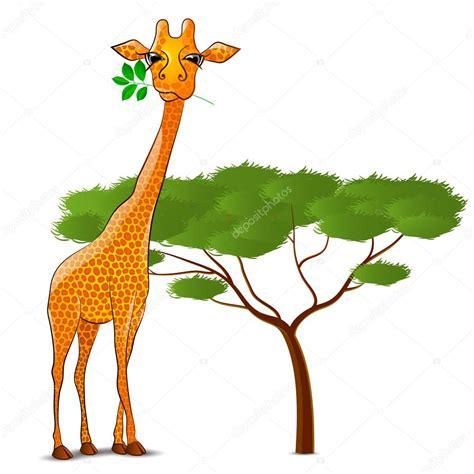 imagenes de jirafas comiendo hojas jirafa comiendo hojas en 193 frica aislado archivo im 225 genes