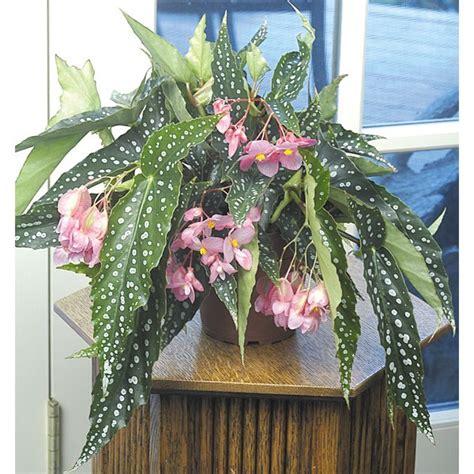 angel wing begonia  sale  special angel begonia