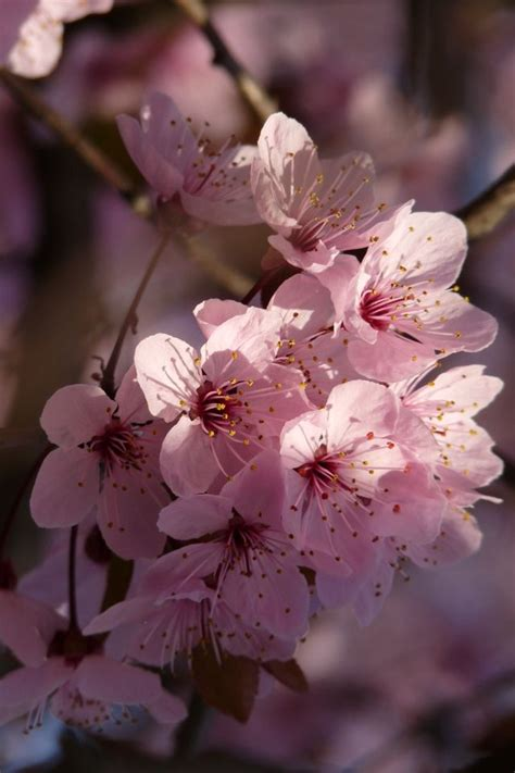 cerezos japoneses my style pinterest cherry blossoms