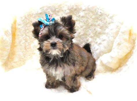 minnesota yorkie breeders terrier puppies mn photo