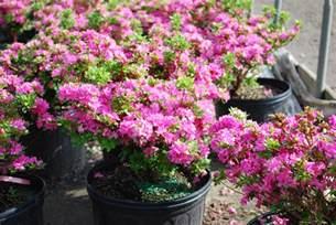 Deer Resistant Flowering Shrubs - evergreen shrubs planters choice