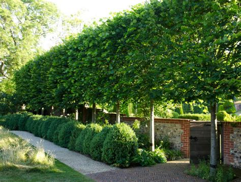 best trees for backyard privacy design 101 pleaching thinking outside the boxwood