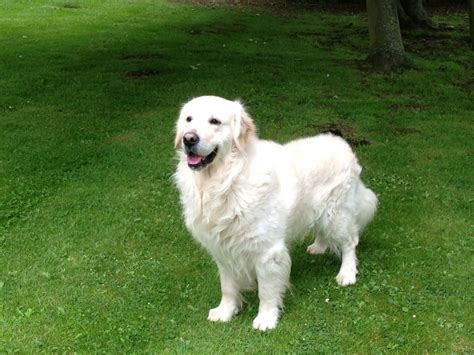 golden retriever stud dogs stunning golden retriever stud grantham lincolnshire pets4homes