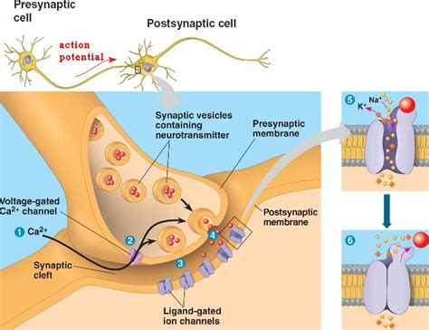 chemical synapse diagram chemical synapse