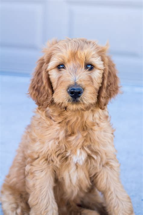mini goldendoodle mn mini goldendoodle puppies for sale in iowa breeds
