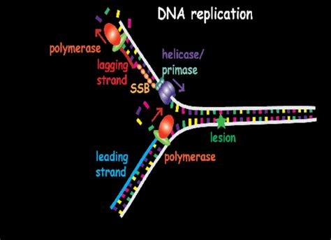 what acts as the template in dna replication a pathway to bypass dna lesions in the replication process