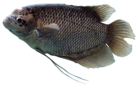 Harga Bibit Ikan Nila Parung gurame parung jual bibit gurame