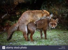 mating foxes kent garden united kingdom wildlife wild animals fox stock photo royalty free