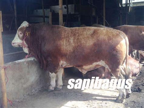 Bibit Sapi Jenis lima jenis bakalan sapi lokal untuk penggemukan