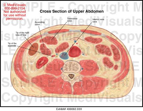 Cross Section Of Stomach by Cross Section Of Abdomen Illustration