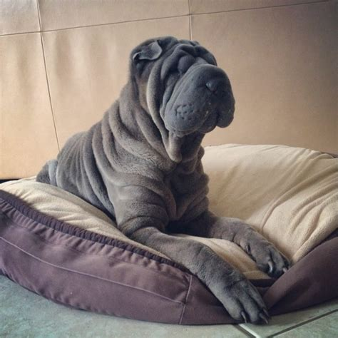 dogs with wrinkles 25 best dogs with wrinkles ideas on