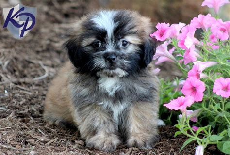 shih tzu husky mix shih tzu husky mix breed shih tzu mix sold free photos
