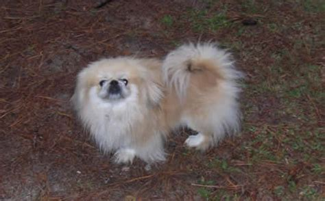 peekapom puppies peek a pom pekingese x pomeranian mix info temperament puppies pictures