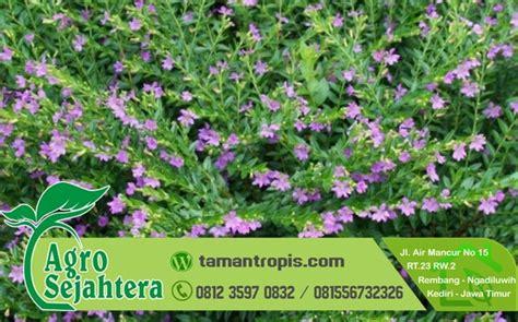 Jual Bibit Bunga Sedap Malam Jakarta jual bibit tanaman hias bunga taiwan