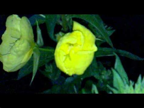 fiori di notte fiore mentre sboccia di notte