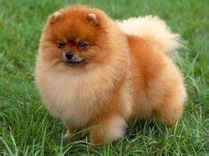 pomeranian puppy harness 1000 images about pomeranians on pomeranians harness and pomeranian dogs
