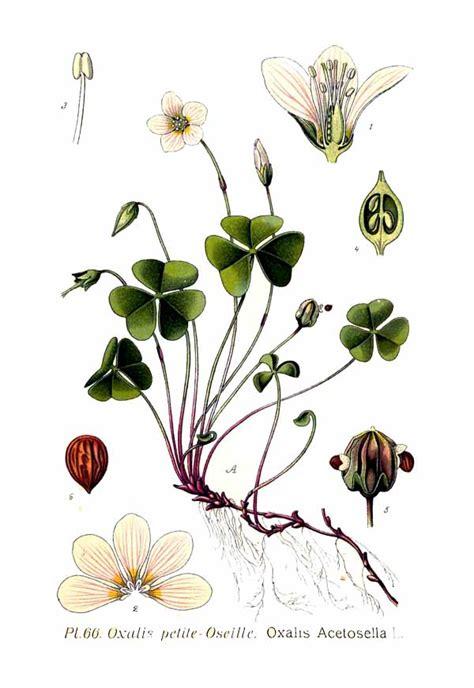 l jpg file 66 oxalis acetosella l jpg wikimedia commons