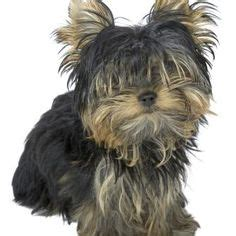 yorkie coat colors yorkie ones and best food on