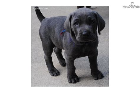 weimaraner puppy for sale weimaraner puppy for sale near green bay wisconsin b05dcfd3 bbd1