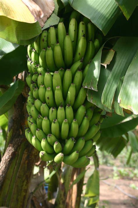 banana tree fruit mapping kusamala s fruit trees kusamala institute of