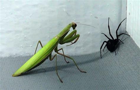 Bite Fighters Botanical Mosquito 12pc black widow vs praying mantis