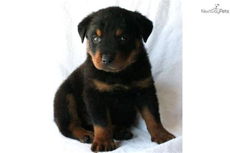 rottweiler puppy potty meet viper a rottweiler puppy for sale for 2 000 viper shipping included potty