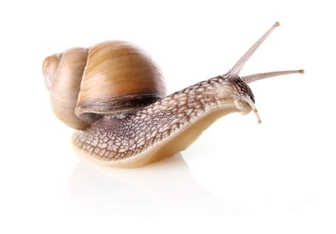 snail hd pic free vector graphic download