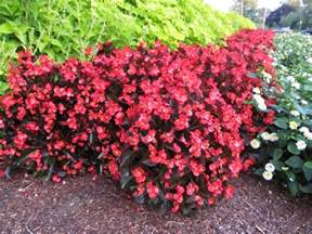 new big begonias showier alternative to wax begonias what grows there hugh conlon