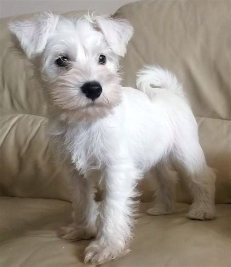 white schnauzer puppy ready now stunning white kc reg boy puppy peterborough cambridgeshire pets4homes
