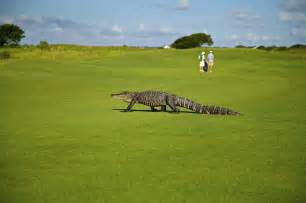 Free photo: Alligator, Golf Course, Golfers   Free Image on Pixabay   1593899