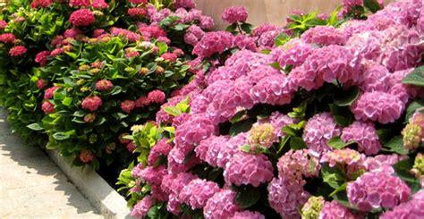pochi fiori ortensie con pochi fiori piante da giardino per il