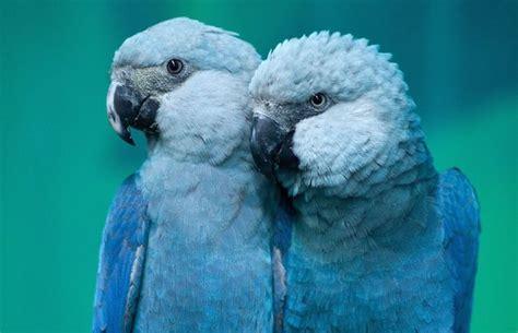 parrot considered extinct   wild appears  video  brazil good news network