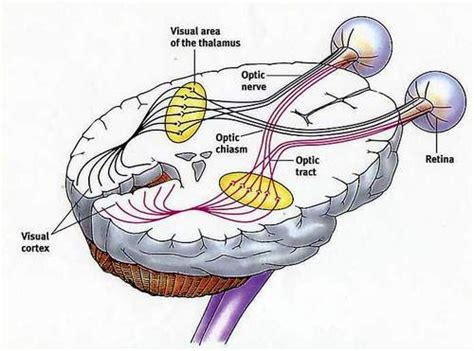visual cortex diagram ask a scienceblogger sensation and perception basics