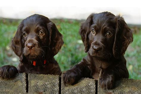 boykin spaniel puppies boykin spaniel temperament names rescue adoption