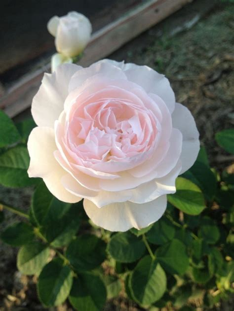 pale pink roses from david austin como bungalow