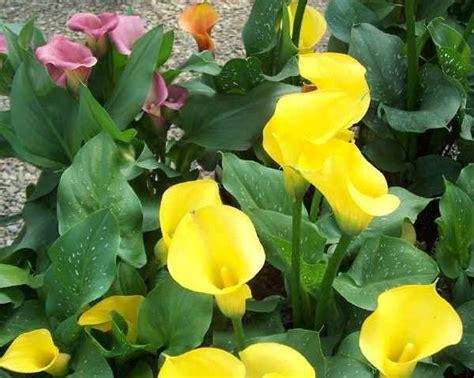 pianta con fiori bianchi tipo calla fiore calla fiori delle piante calla fiore