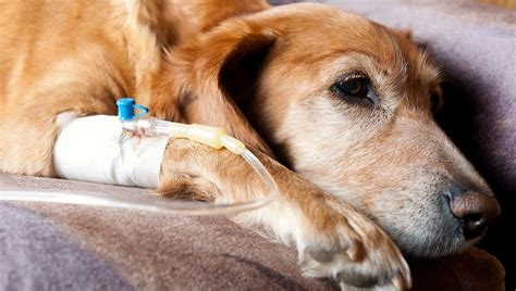 anaphylaxis in dogs anaphylaxis in dogs symptoms causes and treatments dogtime